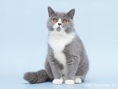 Британские котята.  Например, кошка окраса голубой биколор.