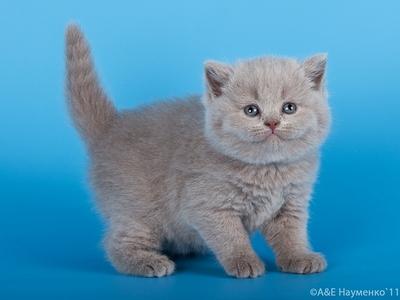 британский котенок лиловый фото #14